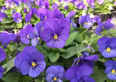 Viola cornuta bleu