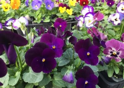 Viola cornuta mélange