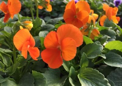 Viola cornuta orange