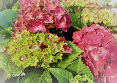 Hydrangea macr. Royal red