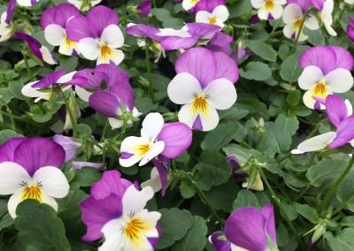 viola cornuta Deroche Blanc