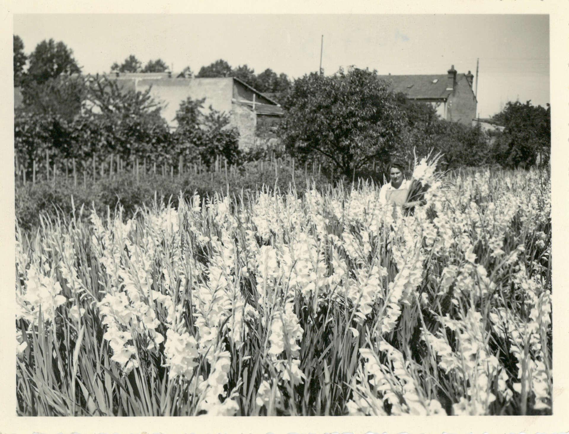 Jeanne Deroche en juillet 1953 cueille des glaïeuls sur l'exploitation