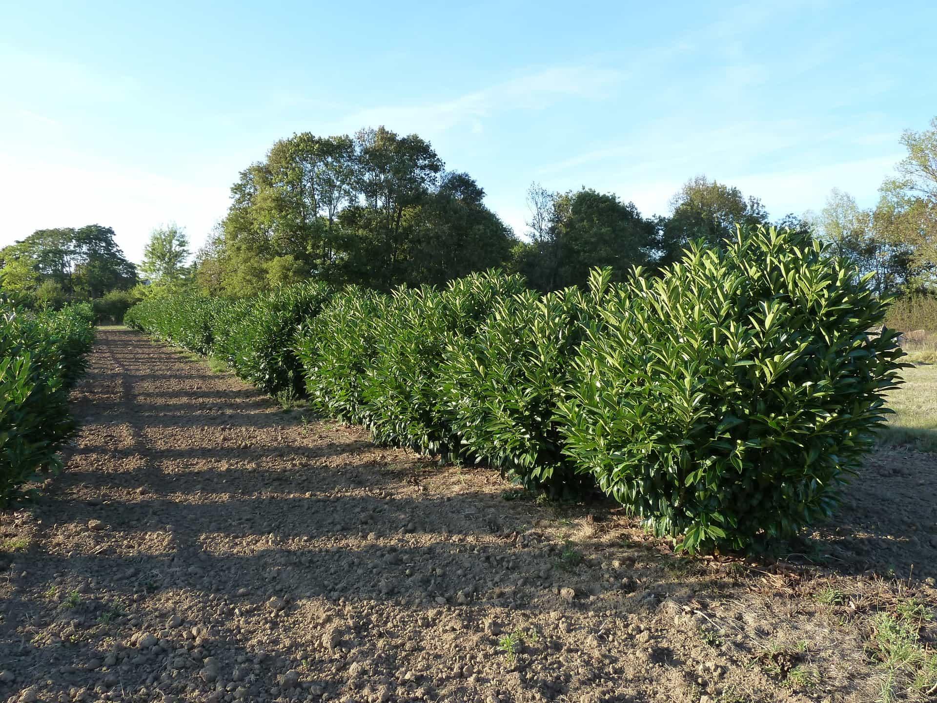 Rangs de lauriers cultivés en panier dans notre pépinière