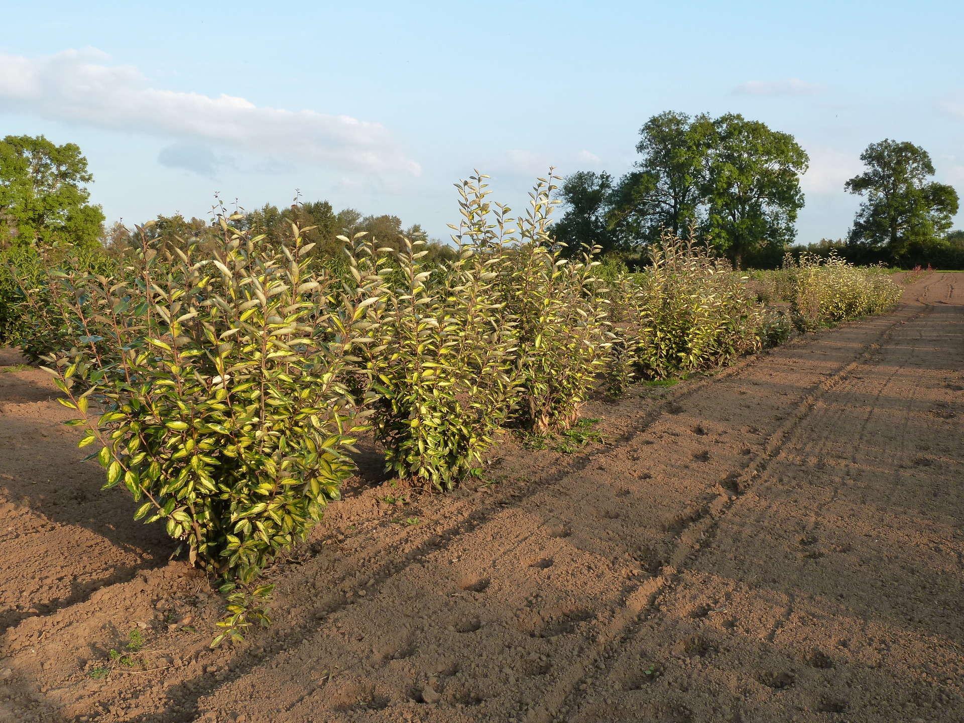 Rangs d'eleagnus limelight cultivés en panier dans notre pépinière