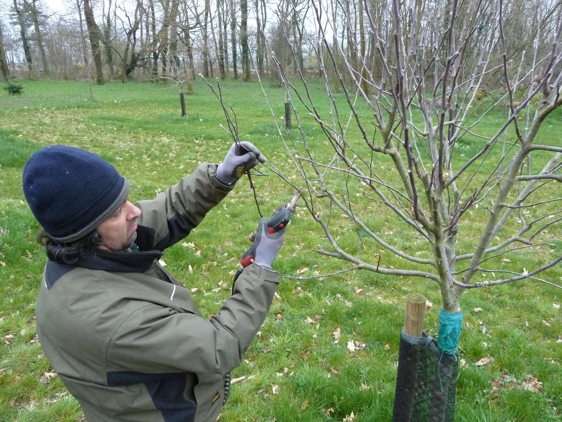 Taille d'arbres fruitiers chez un client