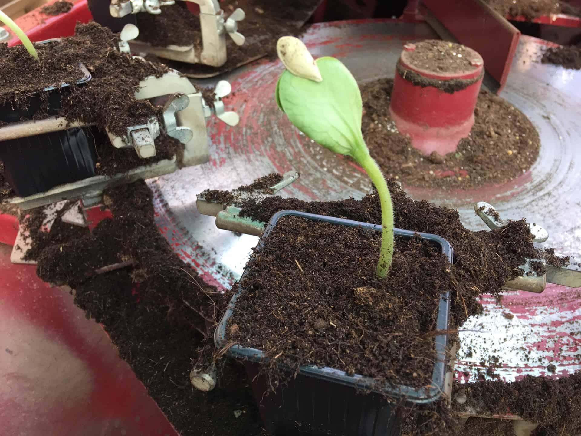 Jeune plant de courgette