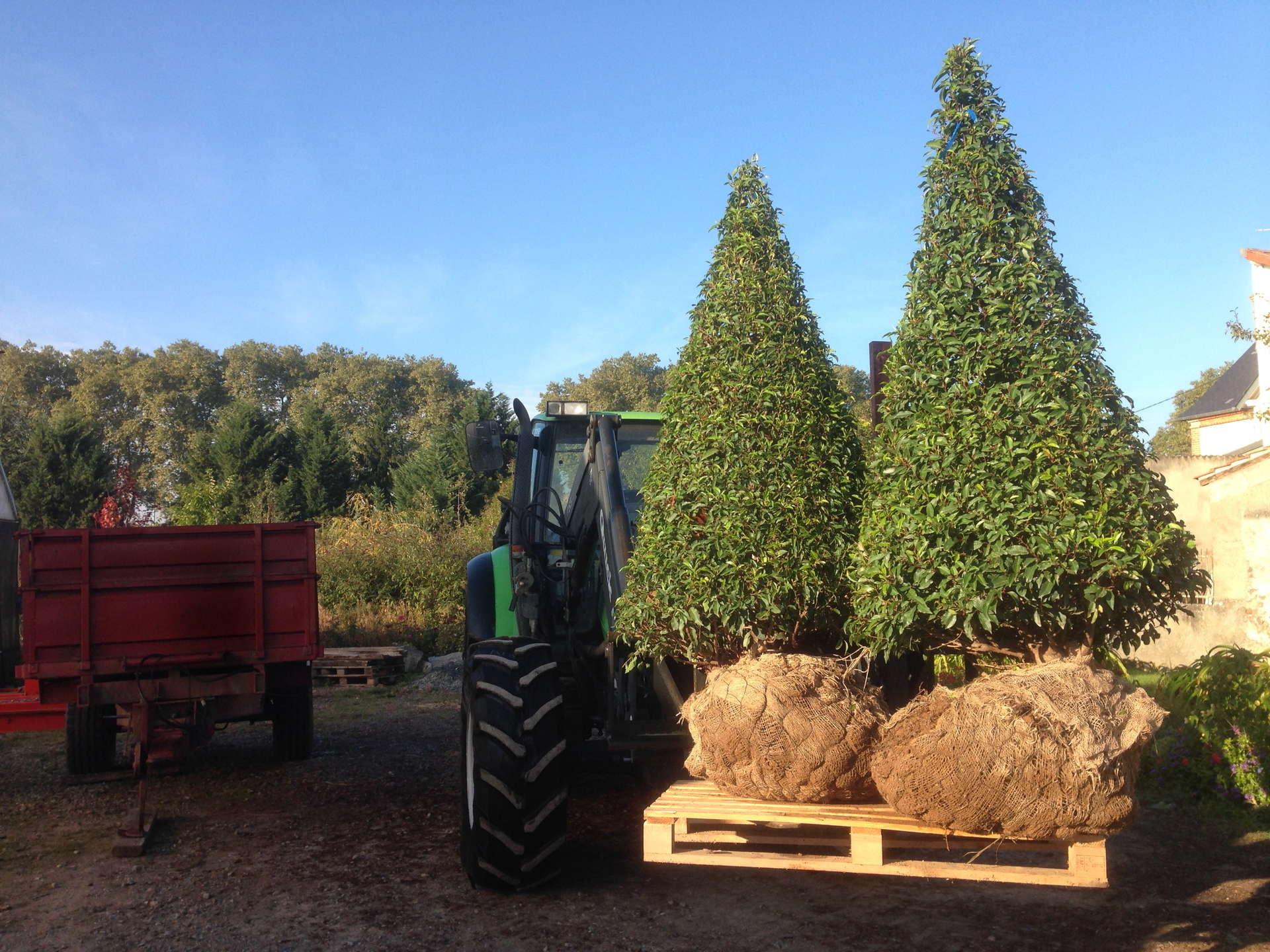 Lauriers du Portugal taillés en cônes pour plantation chez un client.