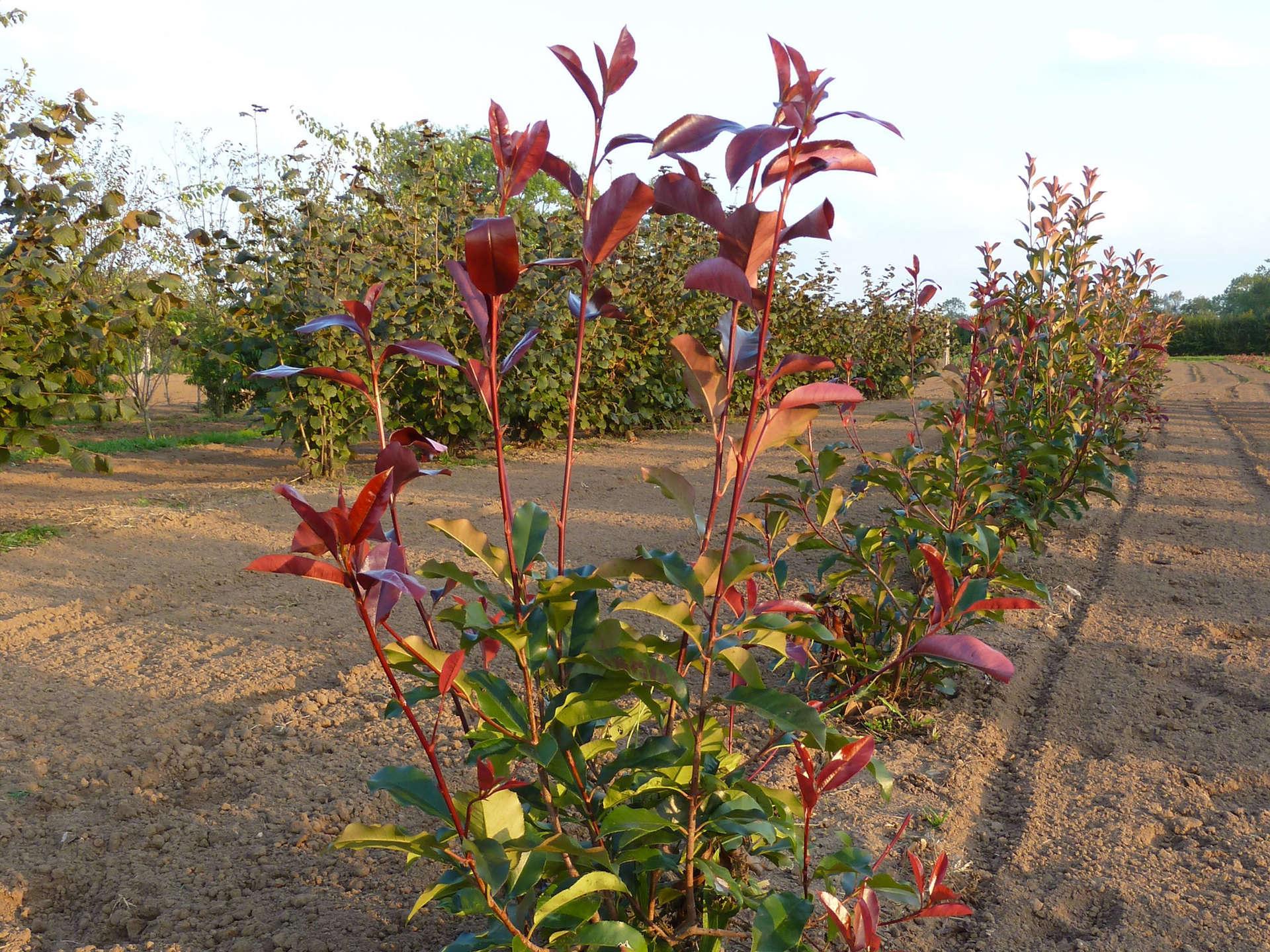 Rangs de photinia red robin cultivés en panier dans notre pépinière